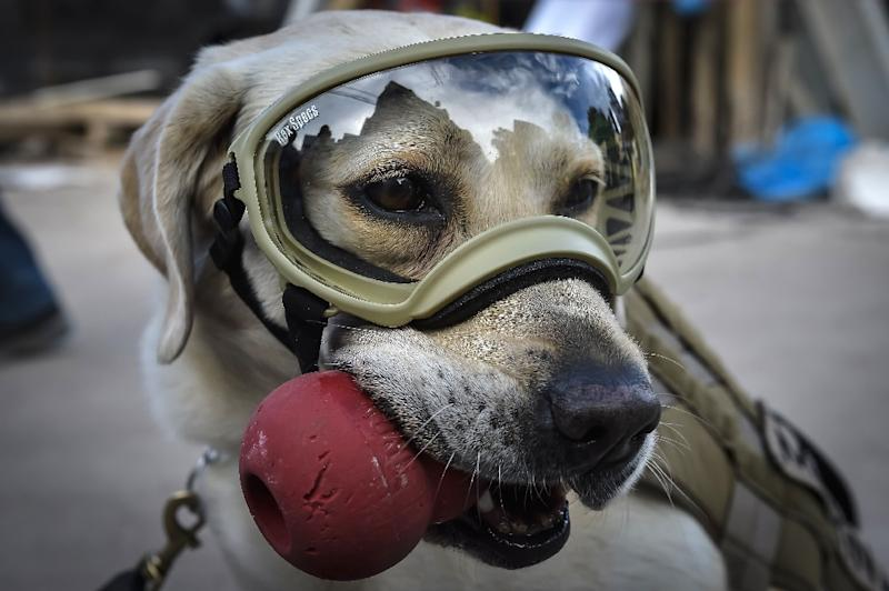 Frida, a rescue dog belonging to the Mexican Navy, with her handler Israel Arauz Salinas, takes a break while participating in the effort to look for people trapped at the Rebsamen school in Mexico City, on September 22, 2017 (AFP Photo/OMAR TORRES)