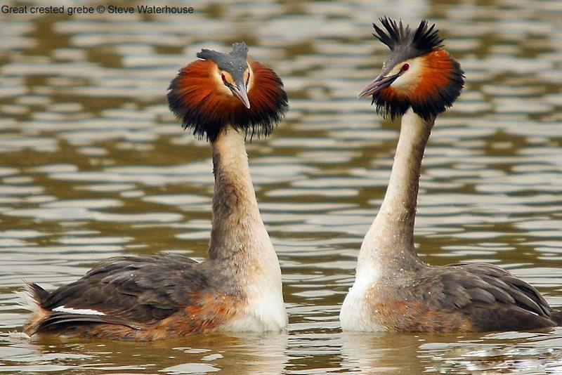 Around 100 years ago, the great crested grebe was pretty much extinct across London and the rest of the country