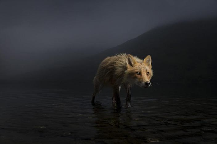 the fox sneaks through the dark shallow waters