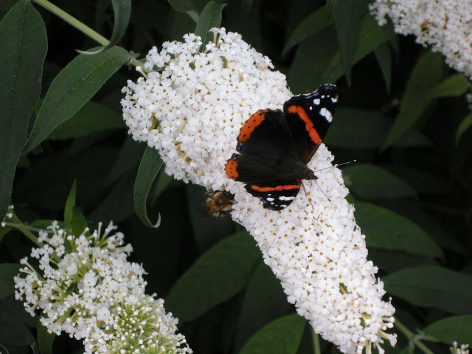 """<p>These shrubs really do attract pollinators, so you'll enjoy blooms and butterflies all at once! This plant ranges in size from two to eight feet tall, so read the label. New varieties are more compact and are not invasive. Butterfly bush needs full sun.</p><p><a class=""""link rapid-noclick-resp"""" href=""""https://www.amazon.com/Pugster-Butterfly-Buddleia-Flowers-Gallon/dp/B0773D16WS/ref=sr_1_1?tag=syn-yahoo-20&ascsubtag=%5Bartid%7C10063.g.35507259%5Bsrc%7Cyahoo-us"""" rel=""""nofollow noopener"""" target=""""_blank"""" data-ylk=""""slk:SHOP BUTTERFLY BUSHES"""">SHOP BUTTERFLY BUSHES</a></p>"""