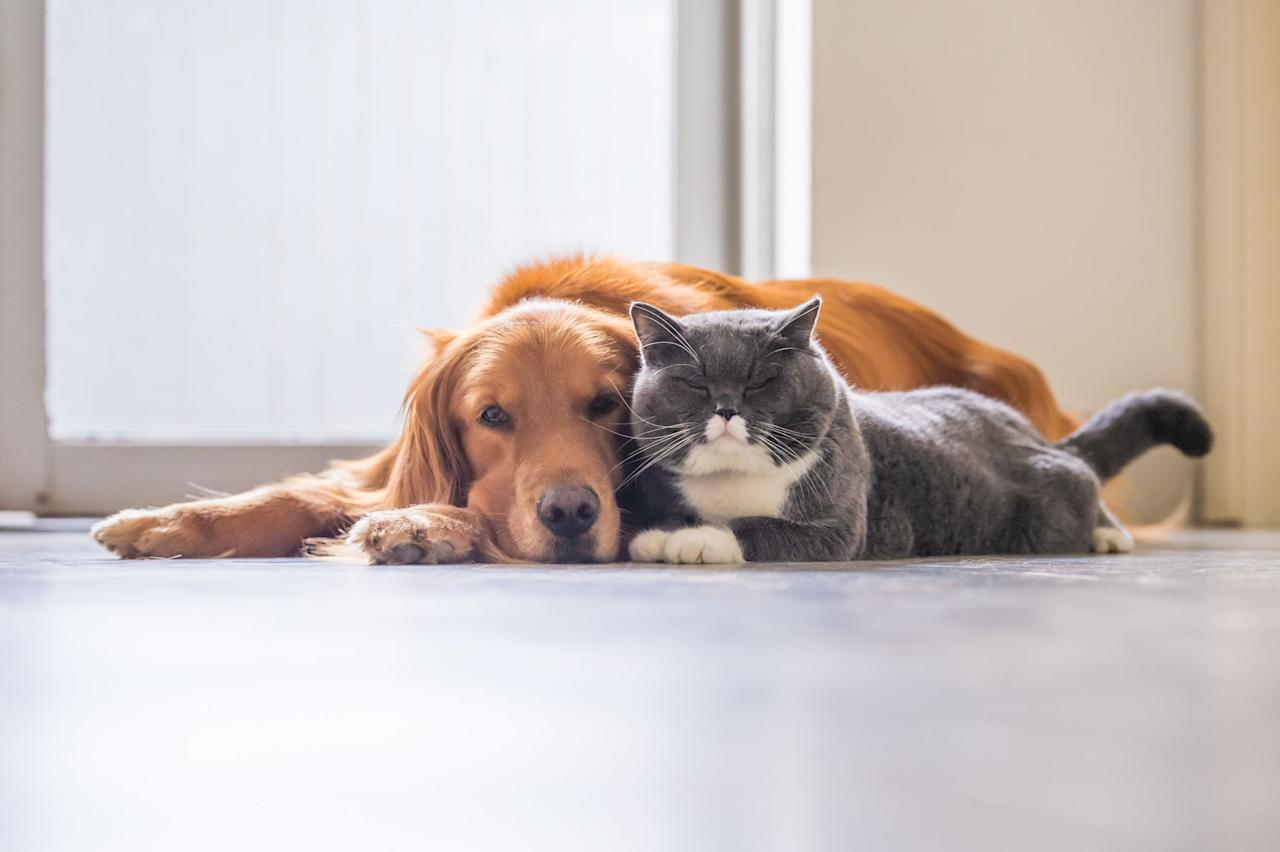 "<p>Though pop culture has socialized us to think that cats and dogs are mortal enemies, many of them actually get along well and can become close friends. But some <a href=""https://www.akc.org/expert-advice/lifestyle/dogs-that-are-good-with-cats/"" target=""_blank"">dog breeds are better with cats</a> than others. For example, the American Kennel Club notes that dogs in the <a href=""https://www.akc.org/dog-breeds/toy/"" target=""_blank"">toy</a> and <a href=""https://www.akc.org/dog-breeds/sporting/"" target=""_blank"">sporting</a> groups are often known for being sociable, affectionate, and friendly, while dogs in the <a href=""https://www.akc.org/dog-breeds/terrier/"" target=""_blank"">terrier</a> group, which were bred to hunt, might mistake a cat for prey. <br><br>Even if you have or choose to get a dog in one of the ""cat-friendly"" groups, it's important to keep in mind that the cat-dog compatibility often depends a lot on the individual personalities of the dog and cat. Pet owners can help set their animals up to be best friends by <a href=""https://www.animalhumanesociety.org/behavior/how-introduce-dog-and-cat"" target=""_blank"">properly introducing them</a>, and making sure the cat always has an escape route from the room, according to the AKC.</p><p>With the right socialization and training — and some patience — a cat and dog might grow to love each other just as much as they love you. Here are 13 breeds of dogs that are good with cats. </p>"