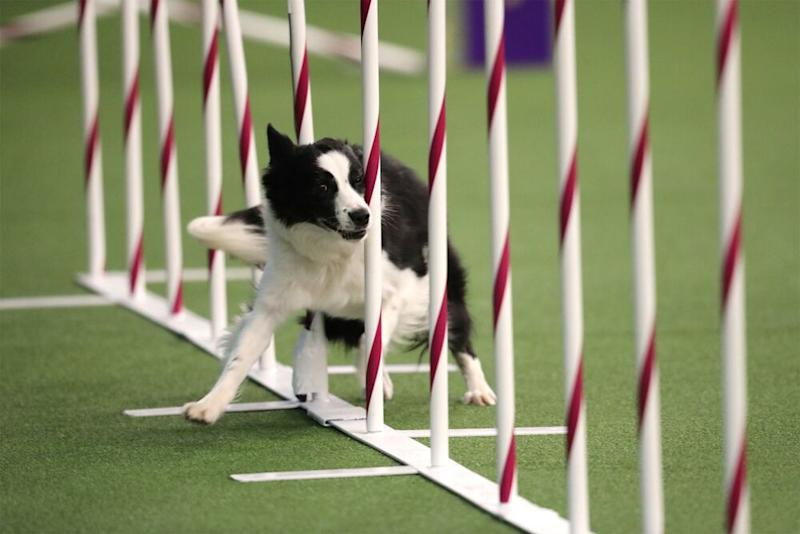 Competing in agility at Westminster | Westminister Kennel Club