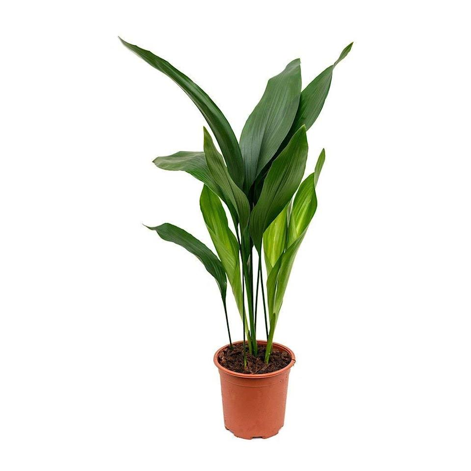 """<strong><h3>Cast Iron Plant</h3></strong><br>Officially known as the Aspidistra elatior, Bishop says this plant is perfect for areas with low light levels. """"In fact, this easy-to-grow plant can withstand occasional watering. Remember to fertilize this slow grower once a month during warm seasons. This plant is definitely among the hard-to-kill varieties and its gorgeous foliage will make it stand out in any space,"""" he says.<br><br><em>Shop</em> <a href=""""https://amzn.to/2YtiOw9"""" rel=""""nofollow noopener"""" target=""""_blank"""" data-ylk=""""slk:Wekiva Foliage"""" class=""""link rapid-noclick-resp""""><strong><em>Wekiva Foliage</em></strong></a><br><br><br><br><strong>Wekiva Foliage</strong> Cast Iron Plant, $, available at <a href=""""https://amzn.to/2xtLATe"""" rel=""""nofollow noopener"""" target=""""_blank"""" data-ylk=""""slk:Amazon"""" class=""""link rapid-noclick-resp"""">Amazon</a>"""