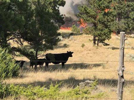Cattle stand near the Bridge Coulee Fire, part of the Lodgepole Complex, east of the Musselshell River, north of Mosby, Montana, U.S. July 21, 2017. Bureau of Land Management/Jonathan Moor/Handout via REUTERS