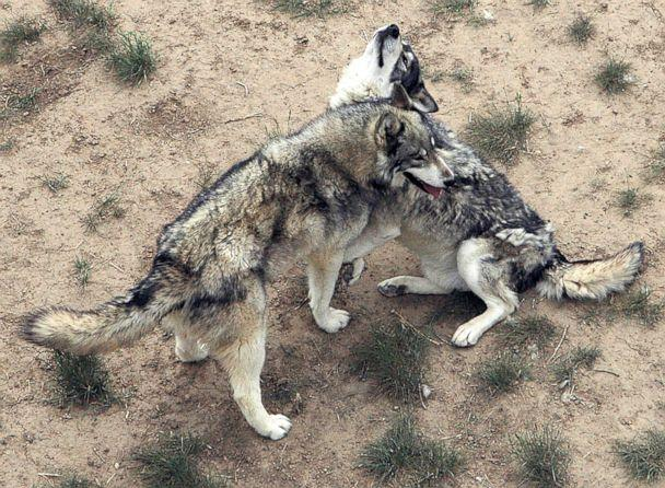 PHOTO: In this photo taken on May 22, 2012, two eastern gray wolves play in their habitat. Views like this one are common from the new walkway nearly a mile long at the Wild Animal Sanctuary in Keenesburg, Colo. (Dan England/The Greeley Tribune via AP, FILE)