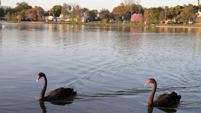 In addition to mute swans, black swans also reside at Lake Morton