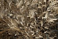Wheat varieties developed in the 1980s are being blighted by disease in Tunisia, but farmers say that traditional varieties appear to be more resistant (AFP/FETHI BELAID)