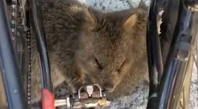 The quokka licks and bites at the pedal. Source: Facebook/Shannon Ducker
