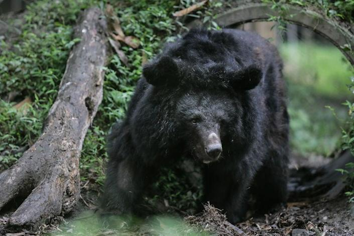 File: A black bear entered a Colorado home, forcing family members inside to lock themselves upstairs for about 45 minutes  (Getty Images)
