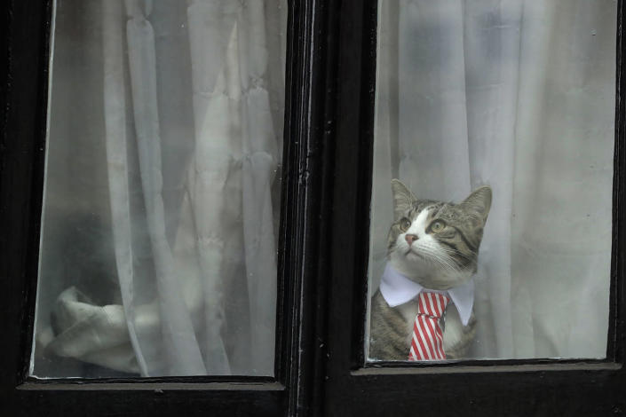 <p>A cat dressed up with a collar and tie looks out from a window of the Ecuadorian embassy in London, Nov. 14, 2016. (AP Photo/Matt Dunham) </p>