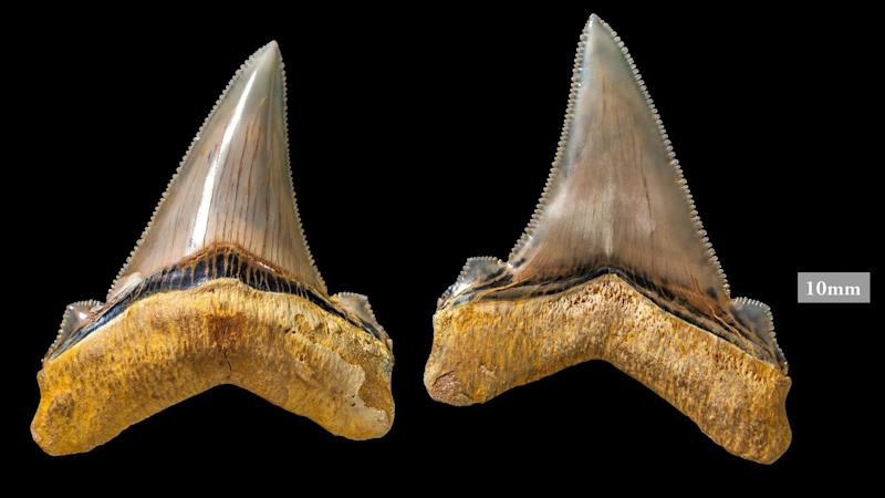 Paleontologists called the shark teeth and vertebrae fossil a
