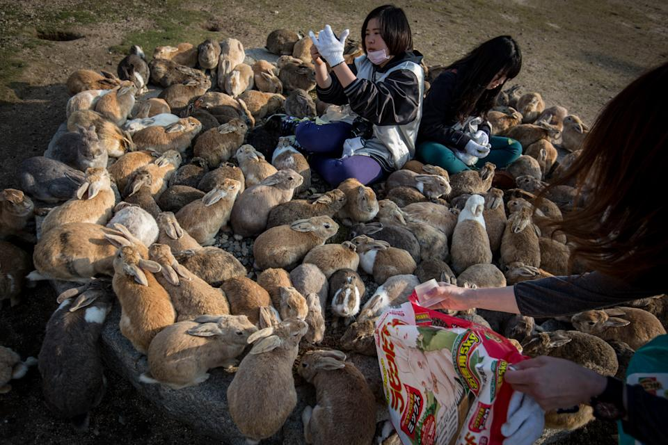 """TAKEHARA, JAPAN - FEBRUARY 24: Tourists sit and feed hundreds of rabbits at Okunoshima Island on February 24, 2014 in Takehara, Japan. Okunoshima is a small island located in the Inland Sea of Japan in Hiroshima Prefecture. The Island often called Usagi Jima or """"Rabbit Island"""" is famous for it's rabbit population that has taken over the island and become a tourist attraction with many people coming to the feed the animals and enjoy the islands tourist facilities which include a resort, six hole golf course and camping grounds. During World War II the island was used as a poison gas facility. From 1929 to 1945, the Japanese Army produced five types of poison gas on Okunoshima Island. The island was so secret that local residents were told to keep away and it was removed from area maps. Today ruins of the old forts and chemical factories can be found all across the island.  (Photo by Chris McGrath/Getty Images)"""