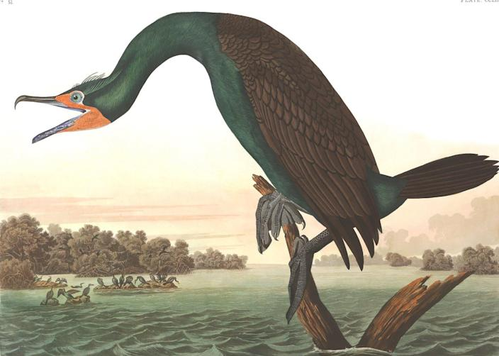 """<span class=""""caption"""">John James Audubon relied on African Americans and Native Americans to collect some specimens for his 'Birds of America' prints (shown: Florida cormorant), but never credited them. </span> <span class=""""attribution""""><a class=""""link rapid-noclick-resp"""" href=""""https://df0bd6h5ujoev.cloudfront.net/plate-252-florida-cormorant-final.jpg"""" rel=""""nofollow noopener"""" target=""""_blank"""" data-ylk=""""slk:National Audubon Society"""">National Audubon Society</a>, <a class=""""link rapid-noclick-resp"""" href=""""http://creativecommons.org/licenses/by/4.0/"""" rel=""""nofollow noopener"""" target=""""_blank"""" data-ylk=""""slk:CC BY"""">CC BY</a></span>"""