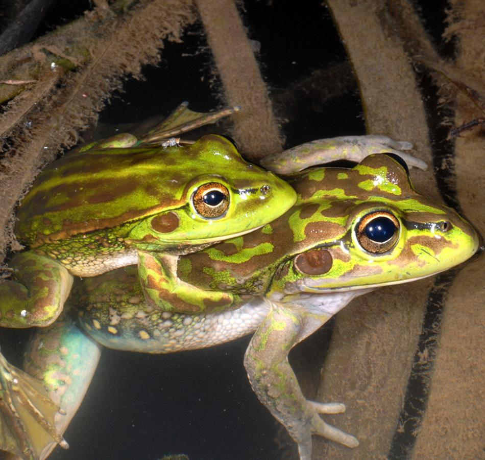 This undated photo provided by the New South Wales National Parks and Wildlife Service shows a pair of Yellow-spotted Bell Frogs in the Southern Tablelands of New South Wales state of Australia. The species of frog thought to have been extinct for 30 years has been discovered in rural Australian farmland, officials said Thursday, March 4, 2010. (AP Photo/New South Wales National Parks and Wildlife Service, David Hunter)