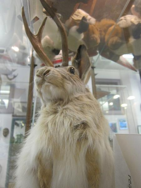 A taxidermied Jackalope, which is a fictional cross between a rabbit and an antelope.