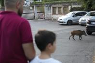 A wild boar crosses a street in Rome, Friday, Sept. 24, 2021. They have become a daily sight in Rome, families of wild boars trotting down the city streets, sticking their snouts in the garbage looking for food. Rome's overflowing rubbish bins have been a magnet for the families of boars who emerge from the extensive parks surrounding the city to roam the streets scavenging for food. (AP Photo/Gregorio Borgia)