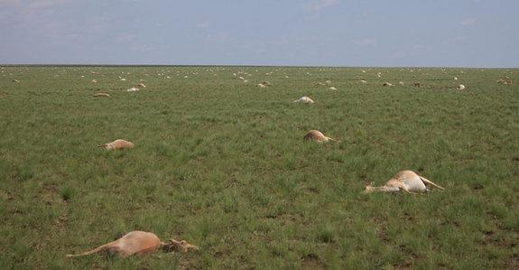In May 2015, nearly half of all the saigas, a critically endangered antelope that roams the steppe of Kazakhstan, died off. Exactly why is still a mystery.
