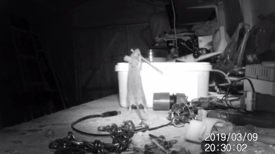 <em>The house-proud rodent attempted to lift objects twice his size (SWNS)</em>