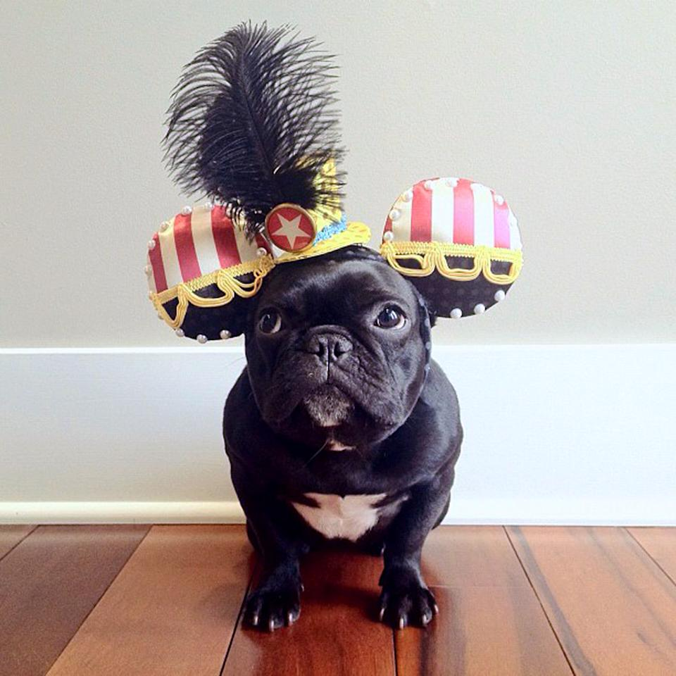 PIC BY SONYA YU / CATERS NEWS - (PICTURED: Trotter wearing some elaborate head gear) - An adorable little French Bulldog has been playing dress-up and has impressively gathered a following of 30,000 on Instagram. The photogenic hipster, called Trotter, wears a range of outfits from a beret, moustache, top hat and pipe to high heels. Owner and Trotters photographer Sonya Yu said her little pup is simply a natural in front of the camera. SEE CATERS COPY