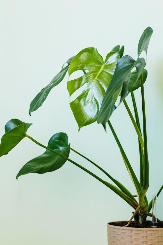 "<p>An island adventure might not be on your calendar, but the Monstera Deliciosa is the next best thing. Its leaves—with unusual hole formations and ridges—have given it the nickname Swiss Cheese plant. The perfect conversation starter for any room in your home, this climbing plant does well with bright, indirect light. </p><p><a class=""link rapid-noclick-resp"" href=""https://go.redirectingat.com?id=74968X1596630&url=https%3A%2F%2Fbloomscape.com%2Fproduct%2Fmonstera%2F&sref=https%3A%2F%2Fwww.goodhousekeeping.com%2Fhome%2Fgardening%2Fg32490113%2Fbest-aesthetic-plants%2F"" rel=""nofollow noopener"" target=""_blank"" data-ylk=""slk:SHOP NOW"">SHOP NOW</a></p>"