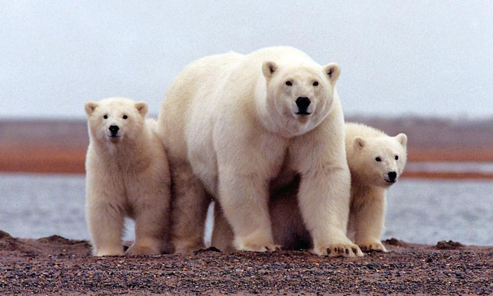 The Arctic National Wildlife Refuge is home to polar bears, caribou and many other wildlife species, but Trump is set to enable gas and oil drilling.