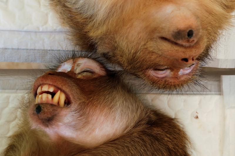 Two monkeys are seen sedated as veterinarians from the the Department of National Parks carry out a sterilization procedure due to the increase of the macaques population in the urban area and the tourist spots of the city of Lopburi, in Thailand June 22, 2020. Picture taken June 22, 2020. REUTERS/Jorge Silva