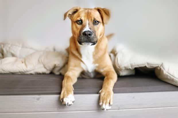 Victoria city councillors Stephen Andrew and Charlayne Thornton-Joe say their proposed changes to the Animal Control Bylaw would help protect pets from ingesting opioids. (Shutterstock / N K - image credit)