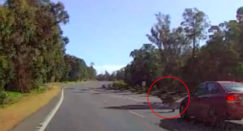 It is reported that the kangaroo was accidentally clipped by the other car before it flew through the air in Western Australia. Source: GWN7 News