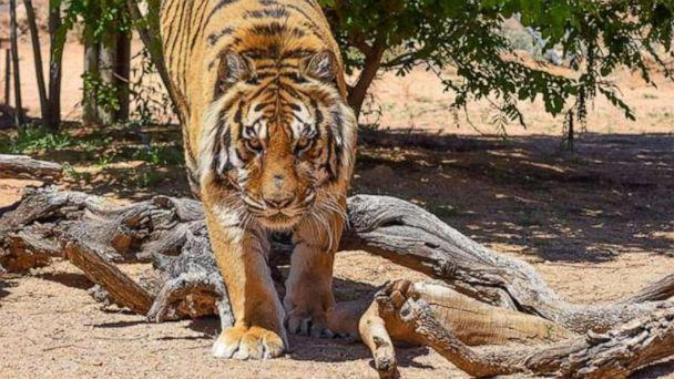 PHOTO: Bowie, an 11-year-old tiger, attacked the director of the animal sanctuary where he lives on Monday, April 22, 2019. (Keepers of the Wild)