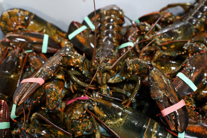 In this Wednesday, Nov. 18, 2020, photo, lobsters sit in a crate at a shipping facility in Arundel, Maine. Dealers who sell lobsters to other countries are hopeful they will be able to do so with without punitive tariffs under Democratic President-elect Joe Biden. (AP Photo/Robert F. Bukaty)