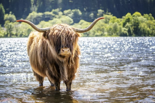 A Highland cow cools off in the waters of Loch Lubnaig near Callander, Stirlingshire (Jane Barlow/PA)