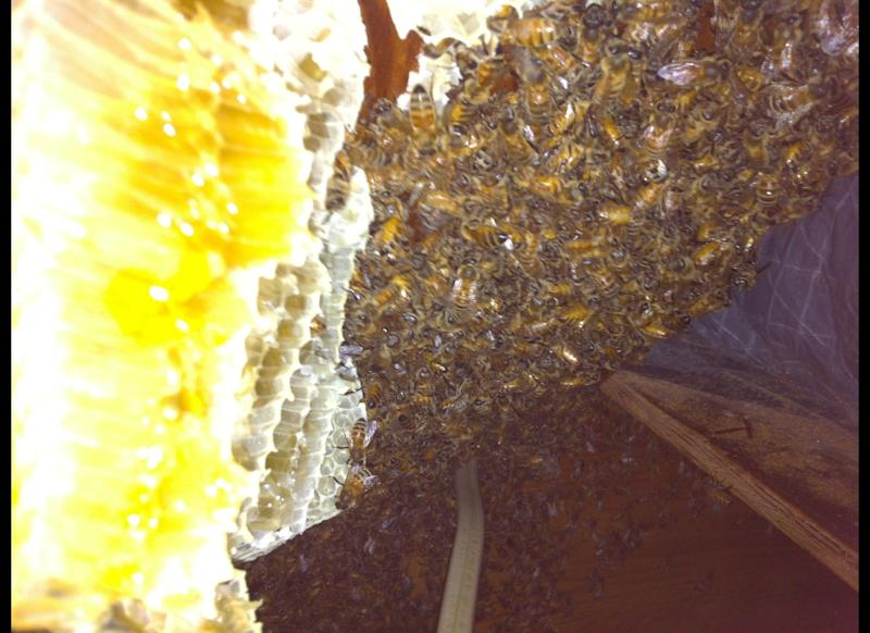 Bee removal expert Gary Schempp removed a 25-pound hive from the attic of a home in Cape May, N.J. The hive had 30,000 bees living in it.