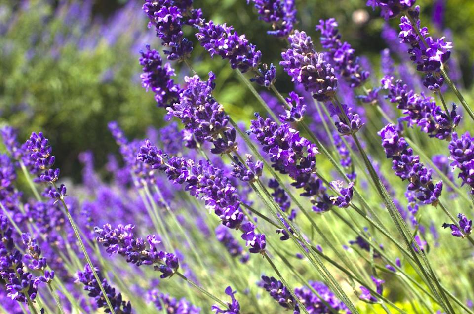 """<p>Lavender likes full sun in well-drained soil, but make sure you choose a variety that will thrive in your USDA Hardiness zone (find yours <a href=""""https://planthardiness.ars.usda.gov/PHZMWeb/"""" rel=""""nofollow noopener"""" target=""""_blank"""" data-ylk=""""slk:here"""" class=""""link rapid-noclick-resp"""">here</a>). </p><p><strong>How to use:</strong> Harvest the leaves and flowers just as the flower spikes begin to open, chop them up and put them in a small sachet to tuck a few under your pillow to reduce anxiety and help you sleep better. It's also delicious in baked goods such as scones!</p><p><a class=""""link rapid-noclick-resp"""" href=""""https://www.amazon.com/Lavender-Phenomenal-20065-Lavandula-Gallon/dp/B07JMBK2JZ/ref=sr_1_6?tag=syn-yahoo-20&ascsubtag=%5Bartid%7C10063.g.35264165%5Bsrc%7Cyahoo-us"""" rel=""""nofollow noopener"""" target=""""_blank"""" data-ylk=""""slk:SHOP LAVENDER"""">SHOP LAVENDER</a></p>"""
