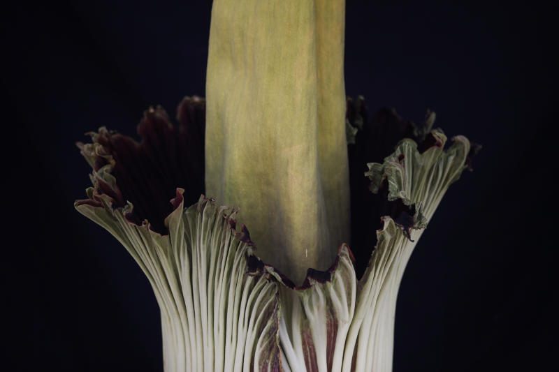 An Amorphophallus titanum, better known as the corpse flower, begins to bloom at Cal State Fullerton Tuesday, May 16, 2017, in Fullerton, Calif. The flower lets off a smell while blooming, that some say is akin to smelling like rotting flesh. (AP Photo/Jae C. Hong)