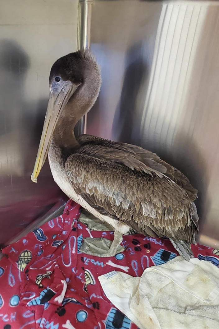 In this Feb. 4, 2021, photo provided by the Busch Wildlife Sanctuary, Arvy, a brown pelican rescued from the icy Connecticut River on Jan. 27, in Killingworth, Conn., is shown after the bird was flown to a wildlife sanctuary in Florida for rehabilitation and eventual release. Apparently blown off course from his normal habitat, Arvy is recovering from pneumonia and frostbite at Busch Wildlife Sanctuary in Jupiter, Fla. This species of pelican is not normally found in the Northeast. The bird's rescuers believe Arvy was blown north from Virginia Beach, Va., during a storm at sea. (Stephanie Franczak/Busch Wildlife Sanctuary via AP)