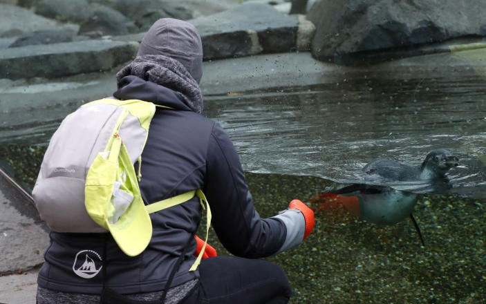 Visitor watches a penguin at the zoo in Prague, Czech Republic, Monday, April 12, 2021. The Czech government has agreed to start easing the tight lockdown, caused by the COVID-19 pandemic, in one of the hardest-hit European countries. Children up to the fifth grade will be back at schools while the stores selling clothes and shoes for kids, laundries, outdoor farmers markets, zoo and botanical gardens are reopened. (AP Photo/Petr David Josek)