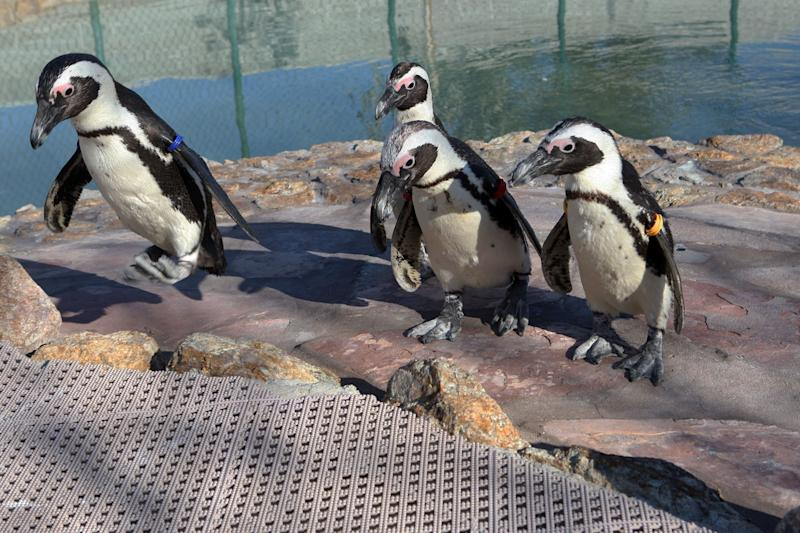 Albert the penguin, left, jumps up to the deck as his co-habitants, Josie, Albert and Chalet, left to right at center, walk to another part of their enclosure at Wayne Newton's Casa de Shenandoah, Tuesday, March 12, 2013, in Las Vegas. (AP Photo/Las Vegas Review-Journal, Jerrry Henkel)