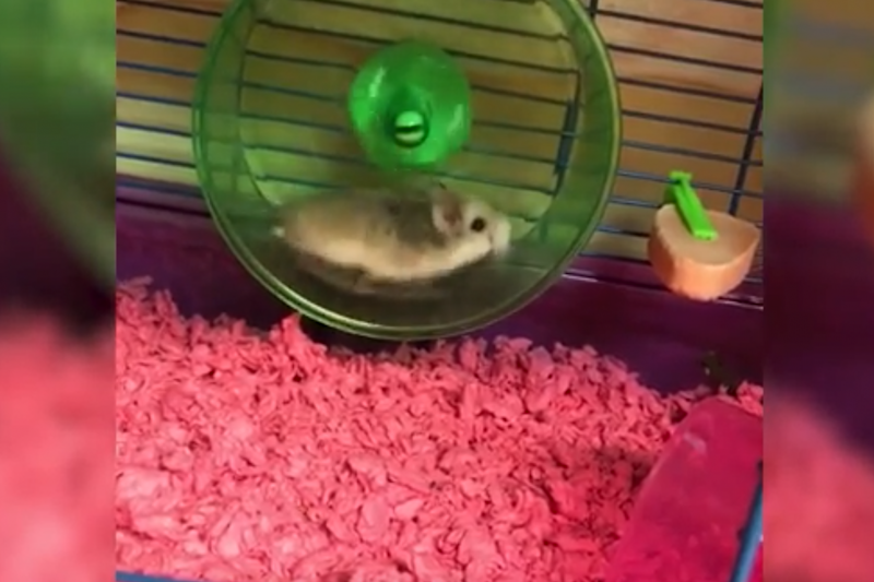 Pebbles was a support hamster she had gotten after a cancer scare the previous year