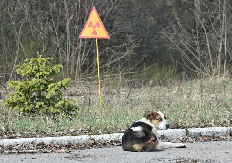 A dog is seen next to a sign of radioactivity in the abandoned city of Prypyat near Chernobyl Nuclear Power Plant on April 8, 2016. (SERGEI SUPINSKY via Getty Images)