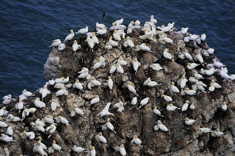 <strong>The UK's kittiwake population has declined by 70% since 1986</strong> (PA Archive/PA Images)