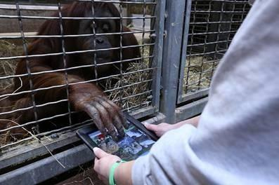 Iris, a 25-year-old orangutan at the Smithsonian's National Zoo, uses an iPad as part of Orangutan Outreach's Apps for Apes program.