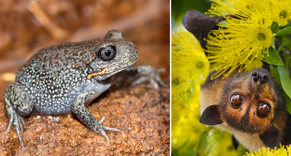 The giant burrowing frog and spectacled flying fox are two of the species up for consideration. Source: Ken Griffiths / Getty
