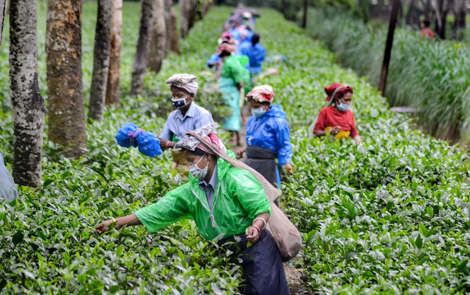 Workers pluck tea leaves during the monsoon season at a tea estate in Dibrugarh on Monday, 7 June.