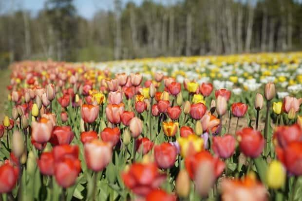 The monks of GEBIS hope to have their tulip fields open tomorrow.