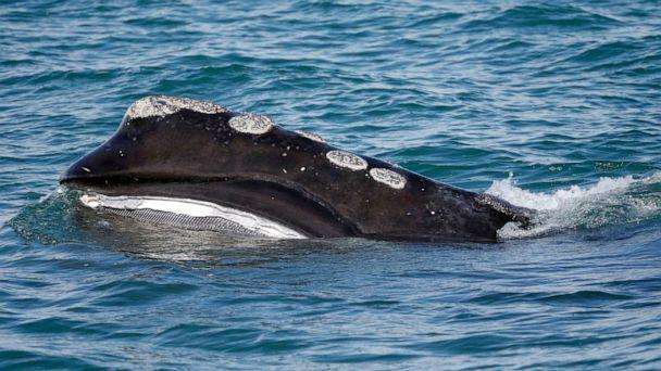 PHOTO: In this March 28, 2018, file photo, the baleen is visible as a North Atlantic right whale feeds on the surface of Cape Cod bay off the coast of Plymouth, Mass (Michael Dwyer/AP, FILE)