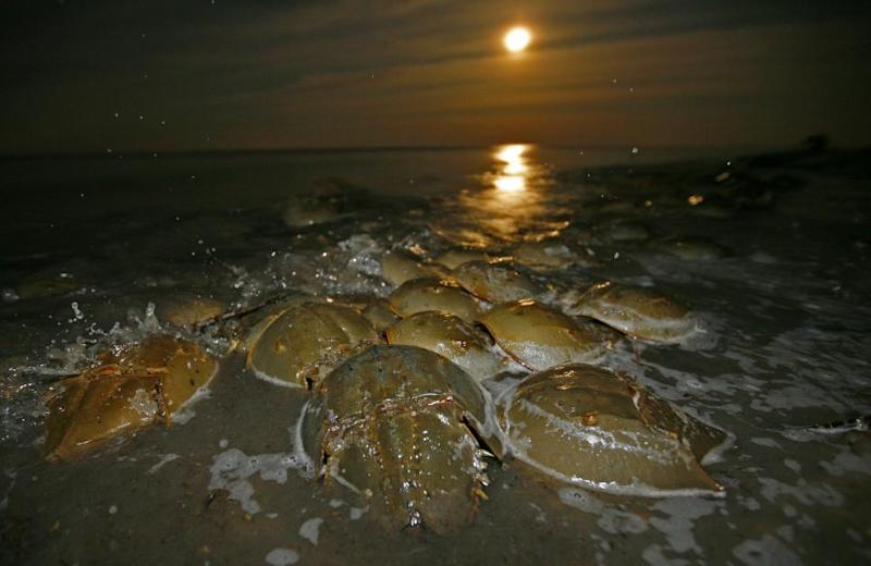 Horseshoe_crabs