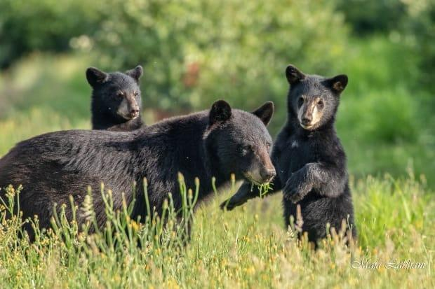 A black bear sow and cubs in Metro Vancouver. The Department of Natural Resources in the N.W.T. says a family of bears spotted near the Yellowknife Airport on Thursday are still in the area, and were most recently seen getting into the garbage behind a restaurant.  (Maja Lakhani - image credit)