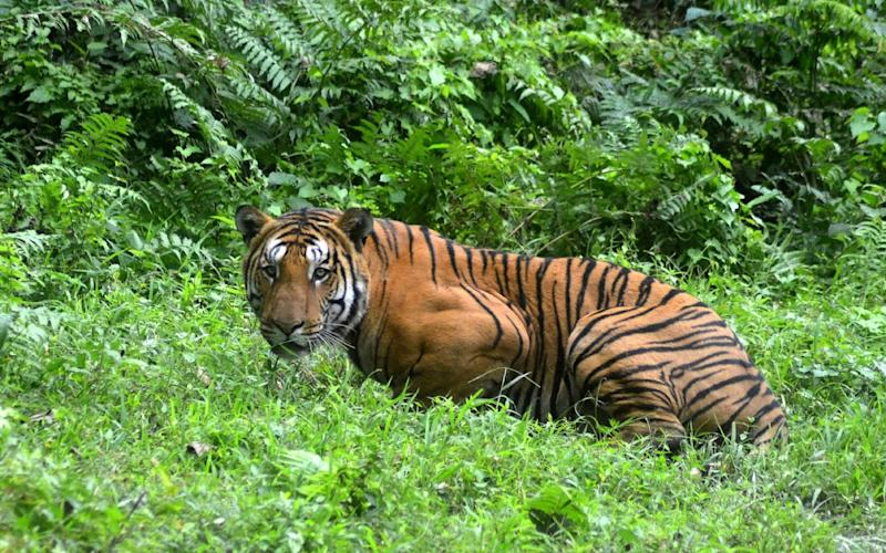 An Indian Bengal tiger looks on in a forest clearing in Kaziranga National Park, some 280km east of Guwahati in northeast India - AFP