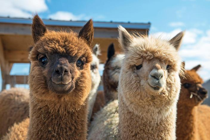 <p>A Vermont man stands accused spending fraudulent coronavirus relief loans on alpacas, among other things.</p> (Getty Images)