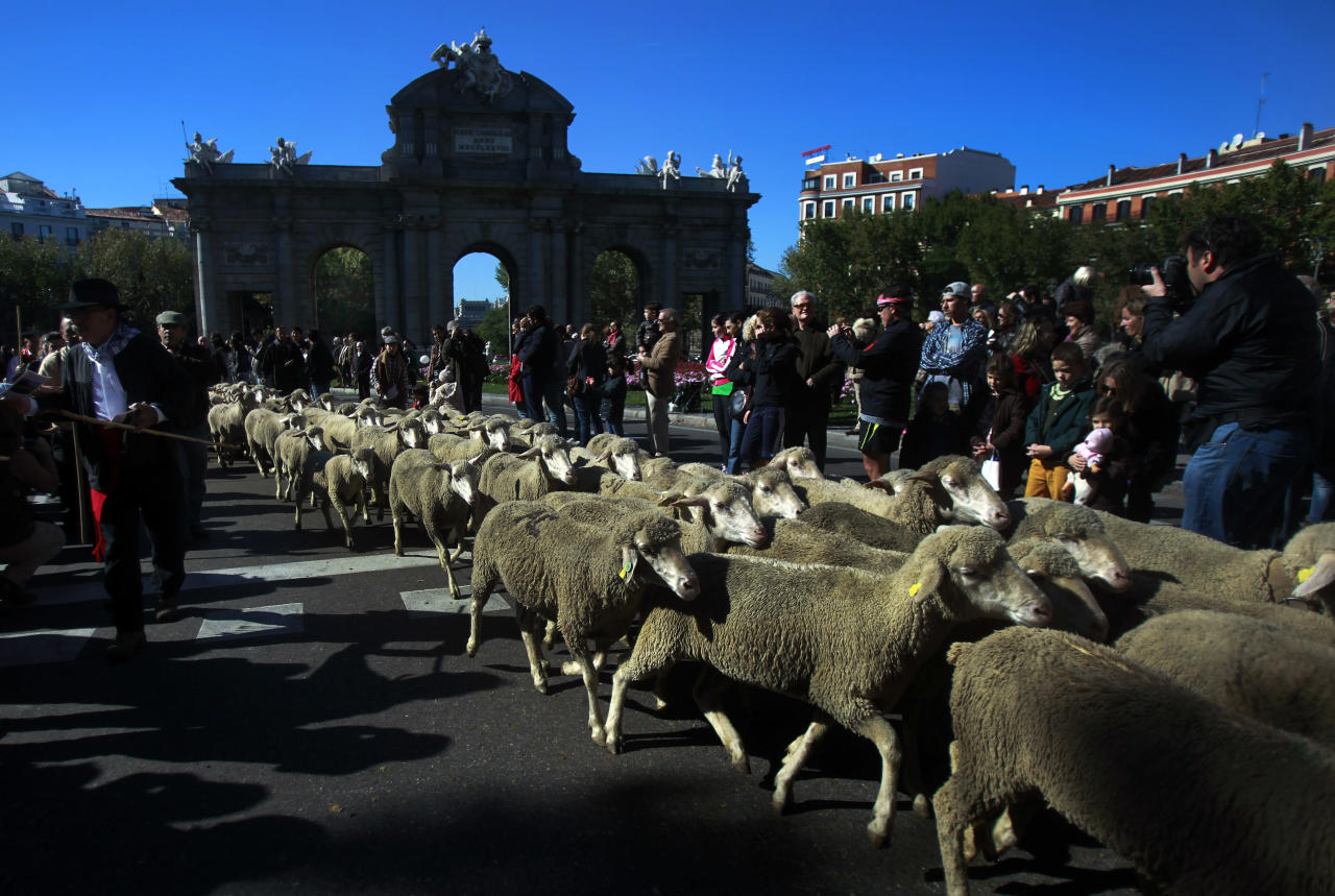 Shepherds lead their sheep through the centre of Madrid, Spain, Sunday, Oct. 28, 2012. Spanish shepherds led flocks of sheep through the streets of downtown Madrid in defense of ancient grazing, migration and droving rights threatened by urban sprawl and man-made frontiers. The rights to droving routes have existed since before Madrid grew from a rural hamlet to the great capital it is today. (AP Photo/Andres Kudacki)